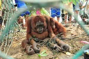orangutan-torturada1