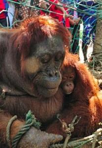orangutan-torturada2