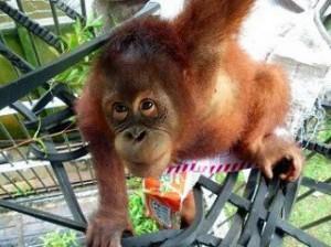 orangutan-torturada3